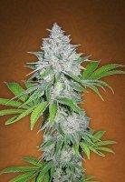 Californian Snow Auto fem
