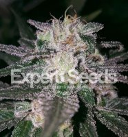 Gorilla Cookies feminized