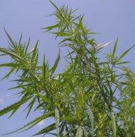 Nativ Canna - order high cannabidiol strains with a lot of CBD
