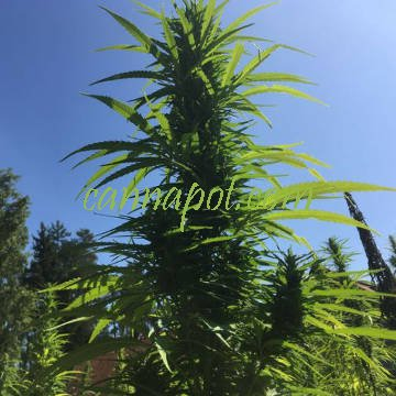 Futura 75 - Cannabis sativa