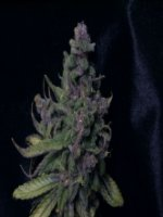 Blue Moonshine fem