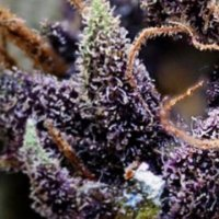 Purple Urkle 5 fem