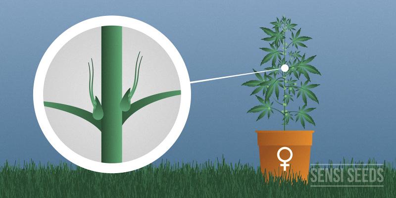 weibliche cannabisspflanze hanfsamen cannapot