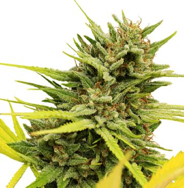 Cannabis seed online shop – offering premium quality services