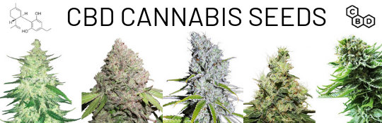 order CBD Seeds online – buy medical cannabisseeds with a lot of cannabidiol